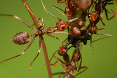 Weaver ants eat treehopper. Insects eat insect. weaver ants vs treehopper Royalty Free Stock Images