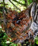 Weaver ants feasting on anarchid. Spider ants feast Stock Image