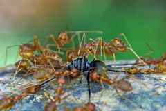 Weaver ants fight a black ant Stock Images
