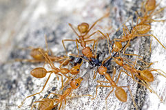Weaver ants and black ant Stock Photos
