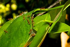 Weaver ants. Royalty Free Stock Photo