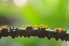 Weaver ants or green ants walking and transmit social signals on. The branch. Spring season. Orange transparent ant. Close-up. Green background royalty free stock photography