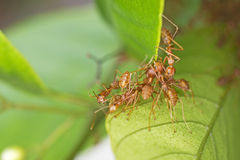 Weaver ants make hive Royalty Free Stock Image