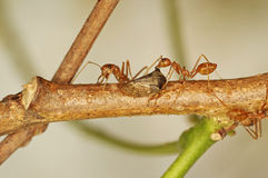 Weaver ants and aphid Stock Image