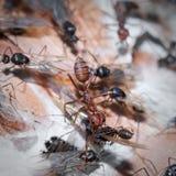 Weaver Ants y carpintero Ants en la guerra Imagenes de archivo
