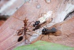 Weaver Ants y carpintero Ants en la guerra Foto de archivo
