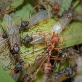 Weaver Ants y carpintero Ants en la guerra Foto de archivo libre de regalías