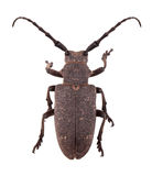 Weaver beetle. The weaver beetle (Lamia textor) isolated on a white background stock photo