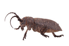 Weaver beetle Royalty Free Stock Image