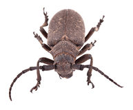 Weaver beetle Royalty Free Stock Images