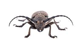 Weaver Beetle Beetle Stock Image