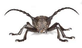 Weaver beetle (Lamia textor) Stock Photography