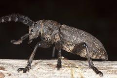 Weaver beetle (Lamia textor) Royalty Free Stock Photography