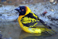 Weaver bird. Yello and black weaver bird Royalty Free Stock Image