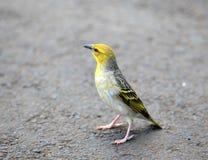 Weaver bird. Beautiful closeup shot of weaver bird Royalty Free Stock Image
