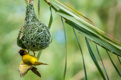 Weaver Bird Fotografie Stock