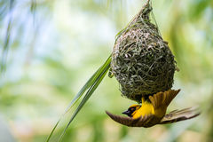Weaver Bird Images stock