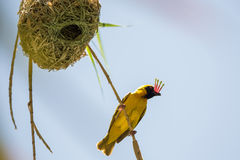 Weaver Bird royaltyfri foto