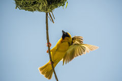 Weaver Bird royaltyfri bild
