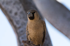Weaver Bird Royaltyfri Fotografi