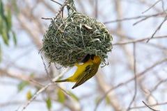 Weaver Bird Arkivfoto