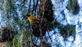 Weaver Bird Fotografia Stock Libera da Diritti
