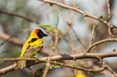 Weaver Bird amarillo y negro Foto de archivo libre de regalías