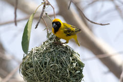 Weaver bird. Building his nest Royalty Free Stock Photos
