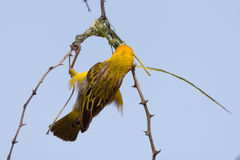 Weaver Bird building his nest in Namibia. Seen and shot on a self drive safari through several national parks in namibia, africa Royalty Free Stock Photography