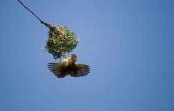 Weaver bird building home Royalty Free Stock Images