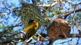 Weaver bird building nest Royalty Free Stock Photography