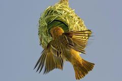 Weaver bird building nest. The male Weaver bird building his nest before the mating season. If the nest is rejected by the female she tears the nest down, and Stock Photo