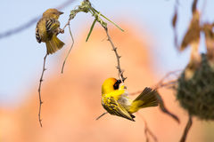 Weaver bird building nest. Etosha National Park, Namibia, Africa Stock Images