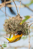 Weaver Bird Building a Nest. A Masked Weaver Bird building a nest in tree branches situated on an island on Lake Victoria, Eastern Africa. The bird is hanging Royalty Free Stock Image
