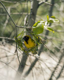 Weaver bird builds new green grass nest on the tree. South Africa. Royalty Free Stock Images