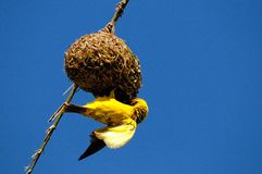 Weaver bird Royalty Free Stock Photo