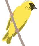 Weaver Bird che si siede su un ramo Immagini Stock