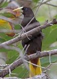 Weaver Bird Royalty Free Stock Photos