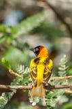 Weaver Bird enmascarado en árbol Foto de archivo