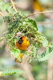 Weaver Bird Hard at Work. A golden yellow weaver bird with black mask on the face and red orange eye is hard at work building a nest in tree branches on an Royalty Free Stock Images