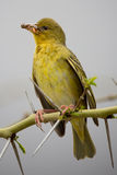 Weaver Bird with Insects in it's Beak Royalty Free Stock Photography