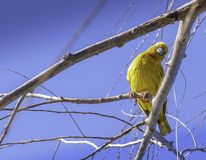 Weaver Bird jaune Images stock