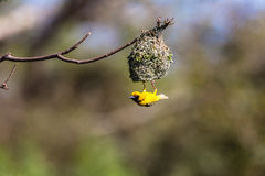Weaver Bird Mating Season Nest. Weaver Bird building nest end of tree branch for mating season Royalty Free Stock Images