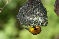 Weaver Bird at Nest. Cape wever bird hanging up side down from it's nest Stock Photos