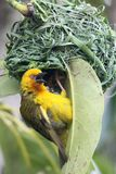 Weaver Bird at Nest. Cape weaver bird male calling at the entrance to it's nest Stock Photos