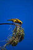 Weaver Bird Nest. Male Village Weaver bird building a nest to call a female for mating season Royalty Free Stock Images