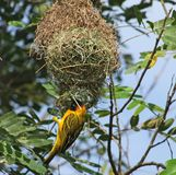 Weaver Bird and nest in Africa Royalty Free Stock Images