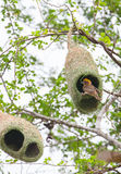 Weaver bird and nest. The Baya Weaver (Ploceus philippinus) is a weaverbird found across South and Southeast Asia Stock Image