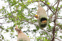 Weaver bird and nest. The Baya Weaver (Ploceus philippinus) is a weaverbird found across South and Southeast Asia Royalty Free Stock Photos