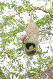 Weaver bird and nest. The Baya Weaver (Ploceus philippinus) is a weaverbird found across South and Southeast Asia Stock Images